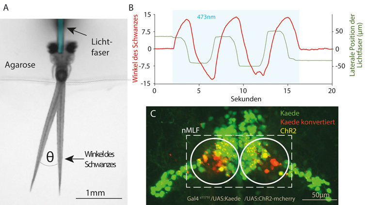 <strong>Abb. 2</strong>: <strong>Optogenetische Manipulation im Fischgehirn.</strong> A) Versuchsaufbau für optogenetische Experimente. Der Fisch