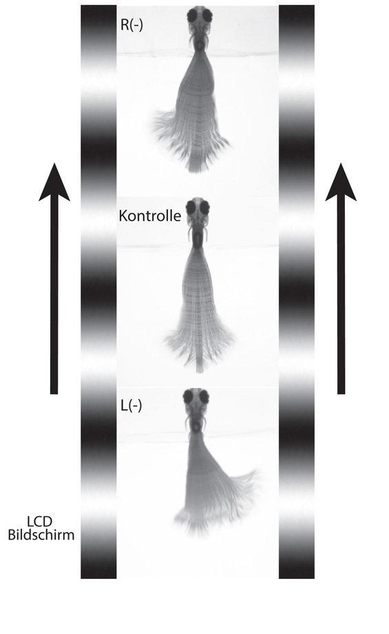 <strong>Abb. 3</strong>: <strong>Laserablation der nMLF-Zellen;</strong> <strong>Versuchsaufbau für die Verhaltensexperimente.</strong> Einzelne