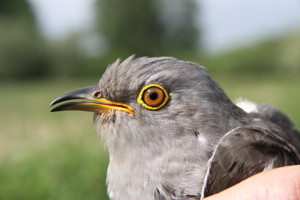 Der Kuckuck ist ein Langstreckenzieher, der vor allem nachts fliegt. In Deutschland kommen die Vögel meist im April in ihren Brutgebieten an. Im