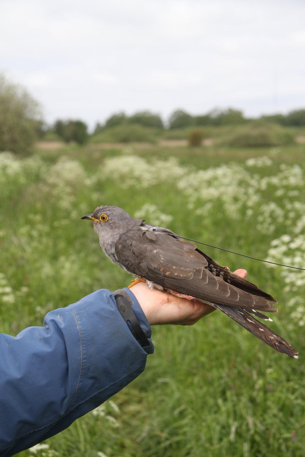 Der fünf Gramm leichte Minisender auf dem Rücken des Kuckucks macht weniger als fünf Prozent seines Körpergewichts aus. Er sendet