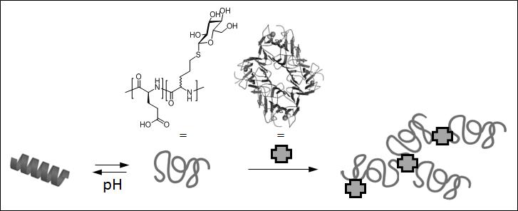 Abb. 1: pH-induziertes Schalten der Sekundärstruktur von glukosylierten Copolypeptiden und selektive Wechselwirkung mit Modellprotein (Lektin).