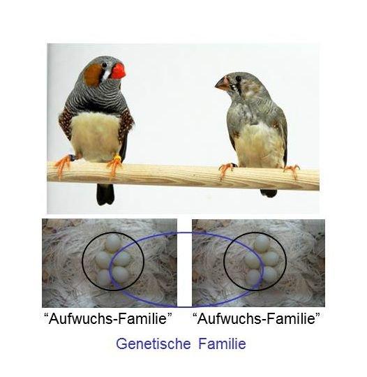 <strong>Abb. 3:</strong> Der Zebrafink ist ein beliebtes Modell, um die Mechanismen des Gesangslernens zu untersuchen. Links ein erwachsenes Männ