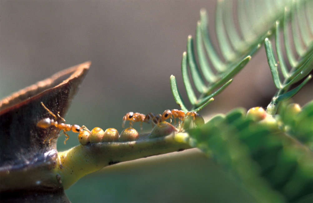 Ants Protect Acacia Plants Against Pathogens Max Planck Gesellschaft