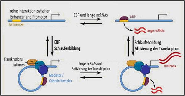 Abb 1: Lange ncRNAs bei der Schlaufenbildung und dem Funktionieren von enhancern. Wissenschaftler gehen davon aus, dass lange ncRNAs an der Entstehung