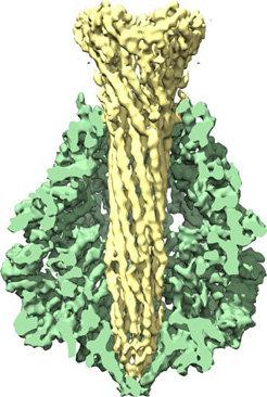 Abb. 1: Dreidimensionale Struktur von TcA, der größten Komponente des ABC-Toxins. Rekonstruiert aus elektronenmikroskopischen Aufnahmen (grün: die äuß
