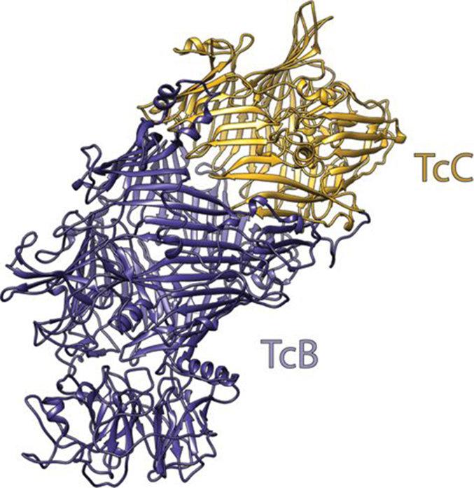 Abb. 3: Aufbau des molekularen KokonsTcB (lila) und TcC (gold) formen als Komplex einen hohlen Behälter, der den Giftstoff enthält. Die Struktur wurde