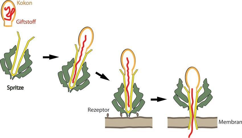 Abb. 4: Tc-Toxine: Zusammenspiel der drei KomponentenTcB/TcC bilden einen Kokon (orange), der den Giftstoff (rot) für die Insekten enthält. TcA bilde