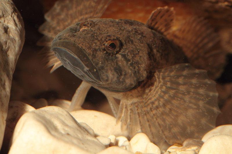 <strong>Abb. 1: </strong>Groppen (<em>Cottus</em>) sind bodenlebende Fische, die meist in klaren und sauberen Flussoberläufen vorkommen. Erste Na