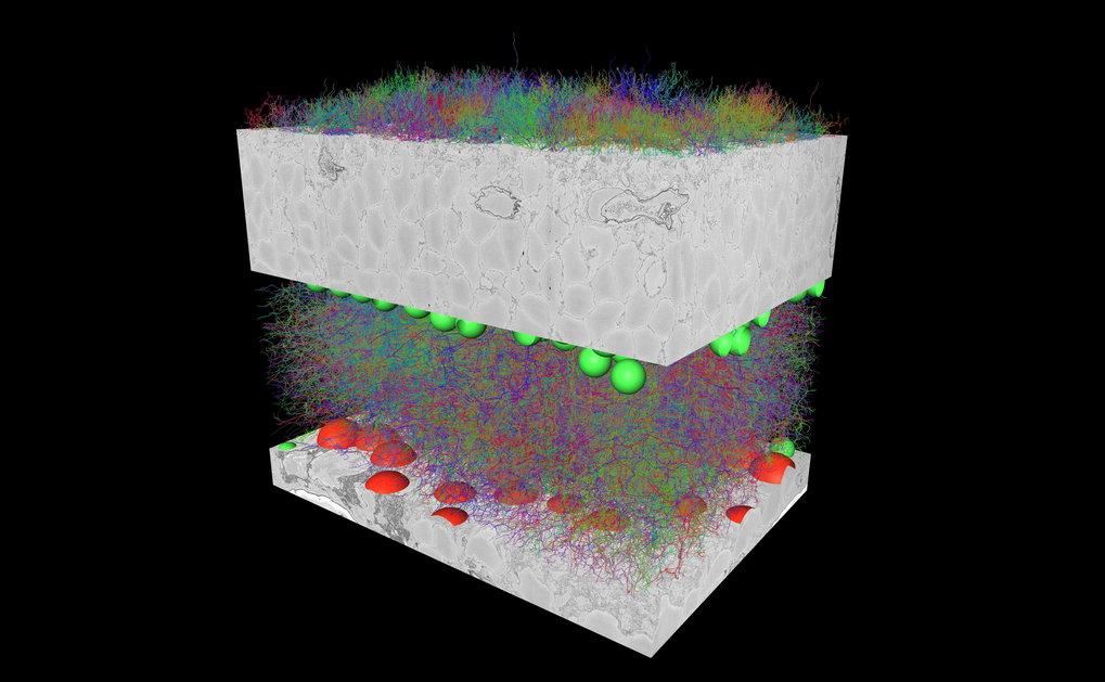 <strong>Abb. 3: </strong>Das lokale Connectom der Maus-Retina: rund 1000 Nervenzellen und ihre mehr als 200 000 Synapsen in einem Gewebewürfel vo