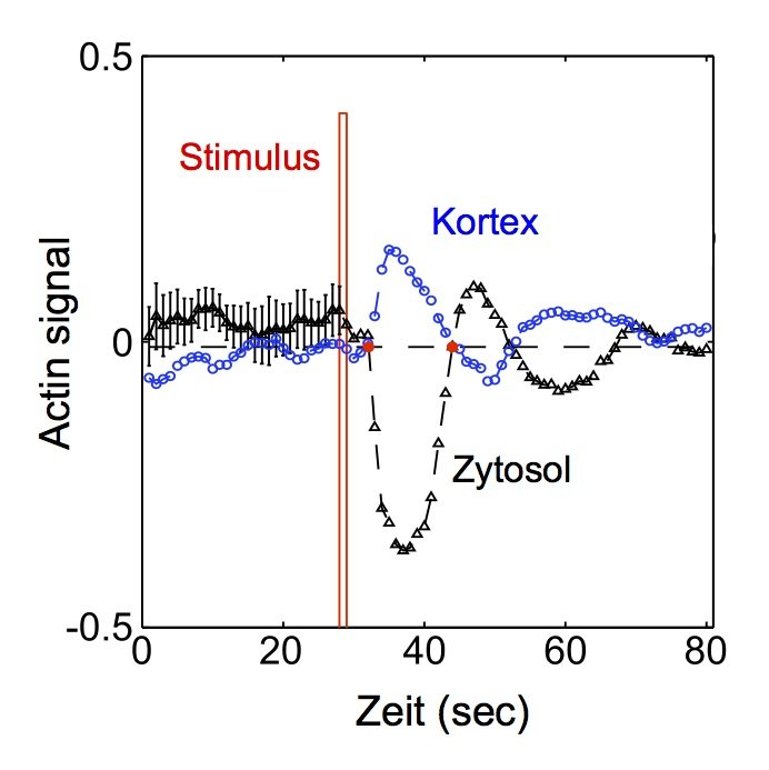 <strong>Abb. 2:</strong> Konzentrationsverlauf von filamentösem Aktin in Antwort auf einen kurzen chemischen Stimulus (rot), getrennt nach zytoso