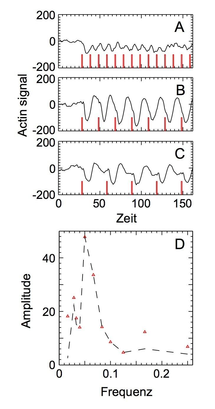 Fig. 3: A−C: Antwort des Actin-Systems auf periodische Stimuli (rot) mit unterschiedlicher Frequenz. D: Amplitude der Actin-Antwort als Funktion der A