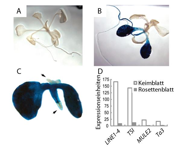 Abb. 1: Reaktivierung eines Reportergens und von Transposons in Arabidopsis thaliana Pflanzen. A Anzucht von Pflanzen ohne Zebularin - keine Reaktivie