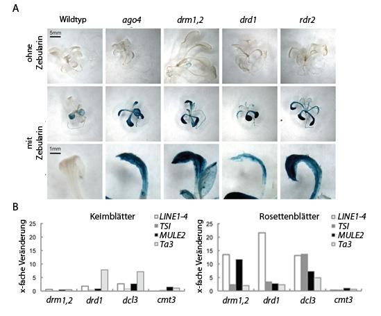 Abb. 2: Reaktivierung des Reportergens in ausgewählten Mutanten von Arabidopsis thaliana. A Vergleich der Anzucht ohne (obere Reihe) und mit Zebularin