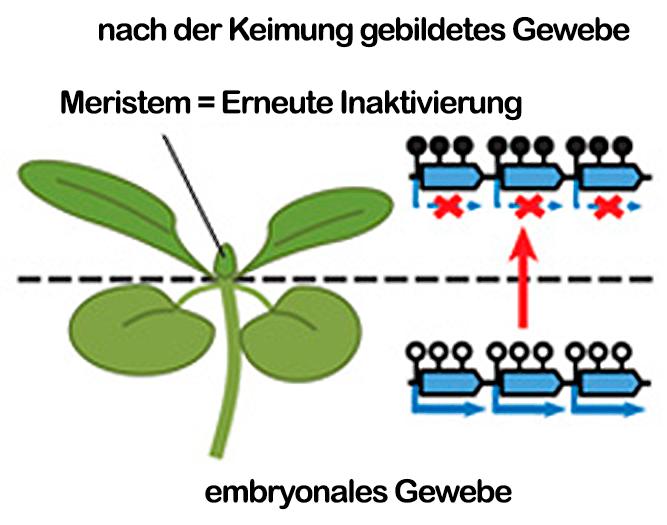 Abb. 4: Während die DNA von Transposons (dicke blaue Pfeile) im embryonalen Gewebe wenig methyliert ist (offen Kreise) und sie somit aktiv sein können