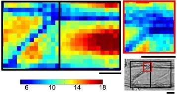 Abb. 1: Steifigkeitsdarstellung, erzeugt durch Indentation in Epidermiszellen der Zwiebel mit der Cellular Force Microscopy (CFM). Die blauen Quadrate