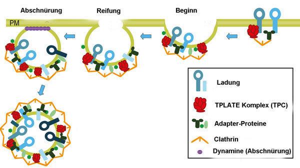 Nur mithilfe des TPLATE-Komplexes aus acht Proteinen können Pflanzen Stoffe mittels Endozytose aufnehmen.