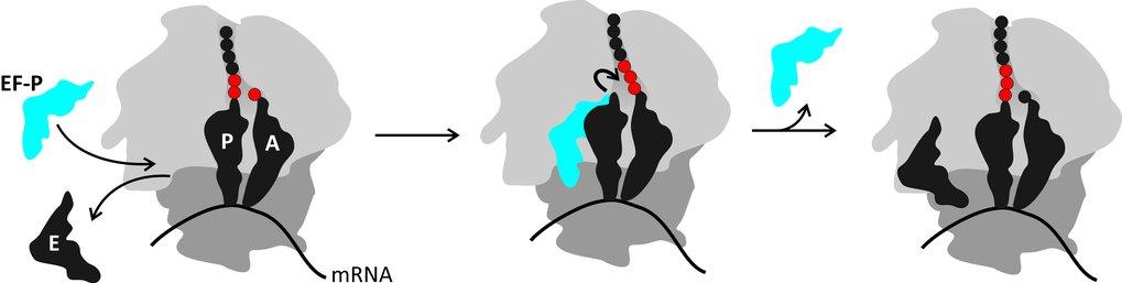 <p><strong>Abb. 2: </strong>Wirkungsweise des Translationsfaktors EF-P beim Einbau von Prolin. EF-P kann nach Dissoziation der tRNA aus der E-Stelle (