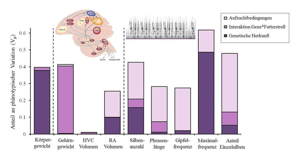 <strong>Abb. 4:</strong> Ursachen der Variation im Körpergewicht, der Gehirnanatomie und des Gesangs beim Zebrafink. Während das Körper