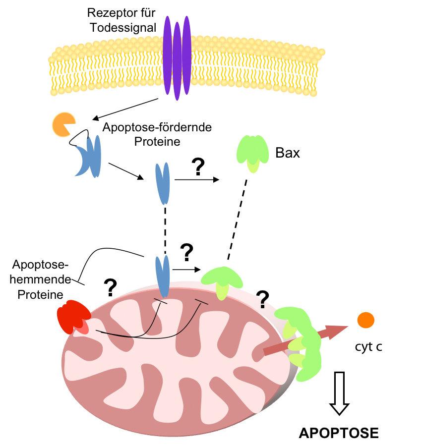 <strong>Abb. 1:</strong> Schematische Darstellung, wie Bax die Mitochondrienmembran im Rahmen der Apoptose durchlässig macht. Die molekularen Det