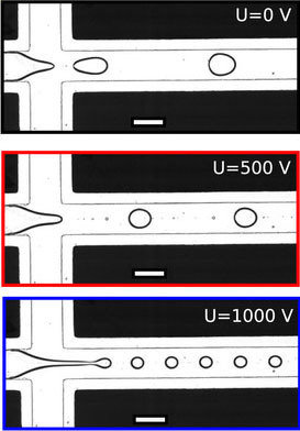 Water and oil flow through the tiny channels in the microfluidic chip. Since oil and water do not mix, the water forms tiny droplets in the oil. The r