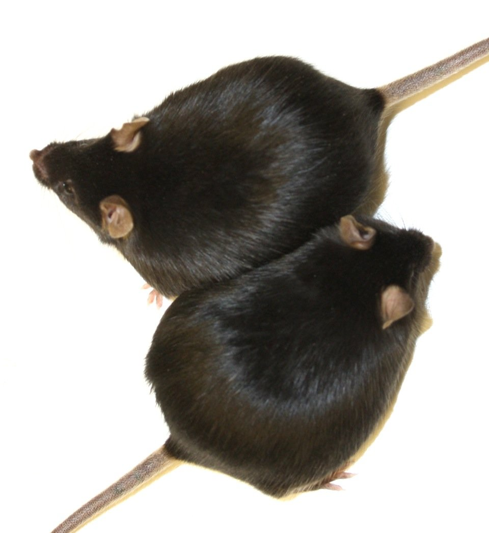 Fat and healthy: Mice that lack the enzyme HO-1, gain weight as the control group with enzyme. However, they remain healthy and live just as long as n