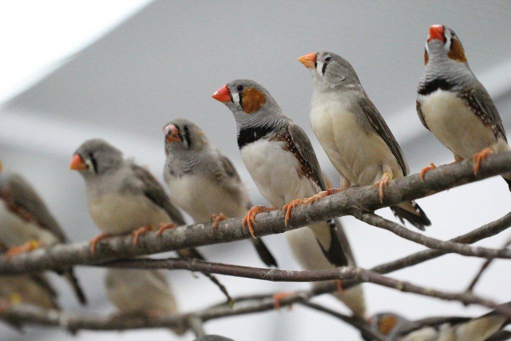 Der Gesang der Zebrafinken hat sich offenbar aus einem einfachen System für angeborene Rufe entwickelt.