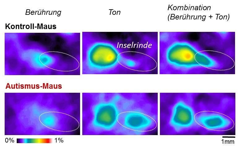 <strong>Abb. 1</strong>: Die Inselrinde erwachsener Kontroll-Mäuse reagiert stärker auf die Kombination mehrerer Sinneseindrücke als au
