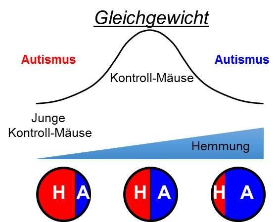 <strong>Abb. 4</strong>: In autistischen Mäusen gibt es ein Ungleichgewicht zwischen Hemmung (H) und Aktivierung (A). Die hemmenden Verknüpf