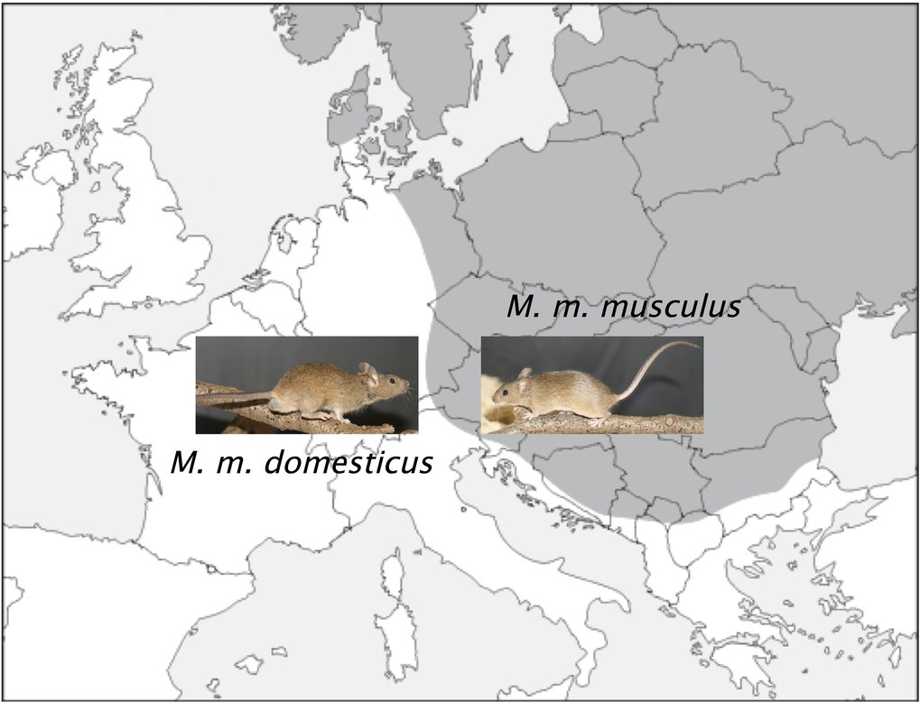 The distribution of the house mouse subspecies cuts across Central Europe: Mus musculus musculus lives to the east, Mus musculus domesticus to west. I