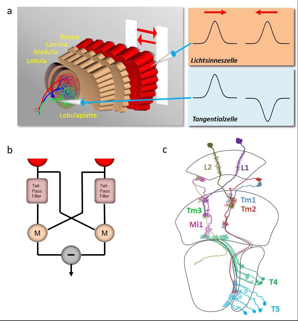 <strong>Abb. 1</strong>: a.) Aufbau des Sehsystems der Fliege (links). Auf Bewegung eines Streifens reagieren die Lichtsinneszellen unabhängig vo