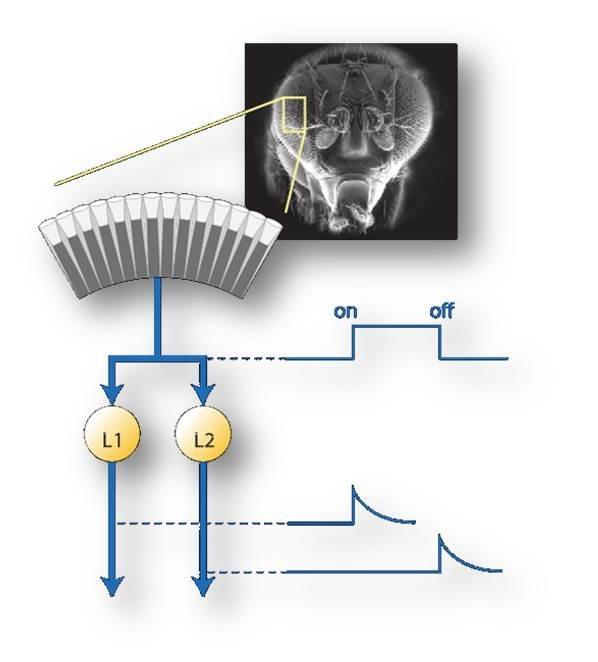 <strong>Abb. 2</strong>: Aufspaltung der primären Lichtinformation in ON- und OFF-Kanäle. Bewegungsinformation wird in beiden Kanälen s