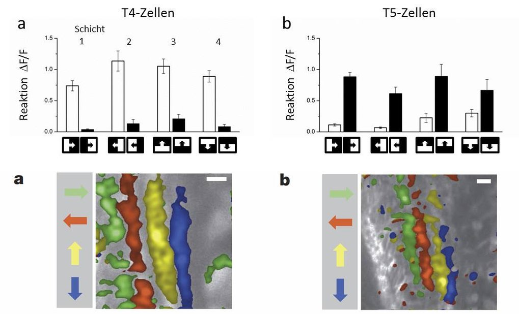 <strong>Abb. 3</strong>: Signale der T4- (a,<strong>a</strong>) und T5-Zellen (b,<strong>b</strong>). a,b) T4-Zellen reagieren spezifisch nur auf die