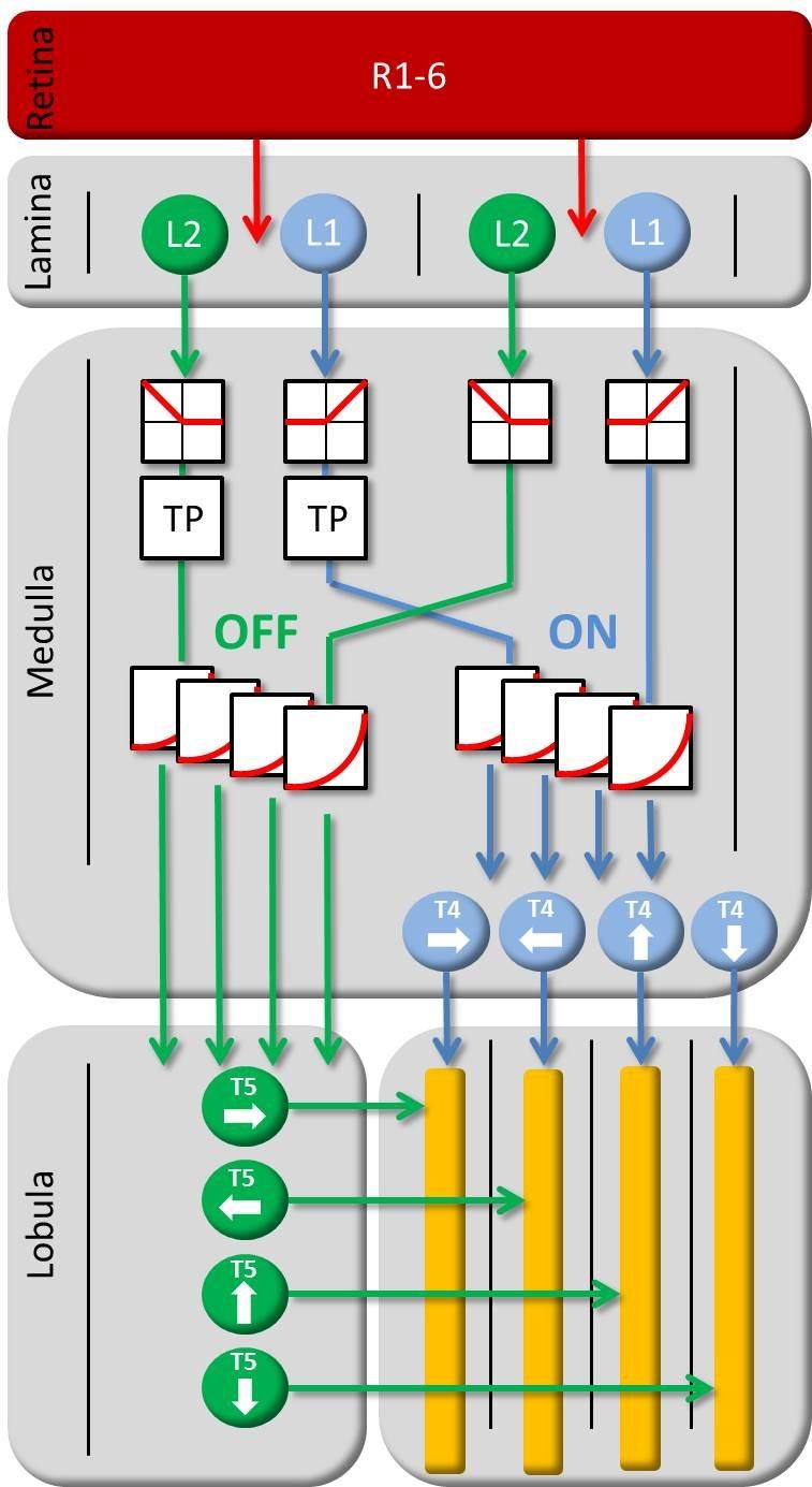 <strong>Abbildung 4</strong>: Zellulärer Schaltplan des elementaren Bewegungsdetektors bei der Fliege. TP = Tiefpass-Filter.