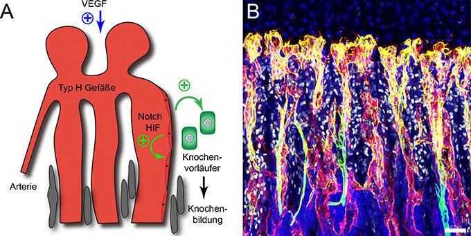 <strong>Abb. 1:</strong> (<strong>A</strong>) Schematische Darstellung der Interaktionen zwischen Typ-H-Blutgefäßen und Knochenvorläuf