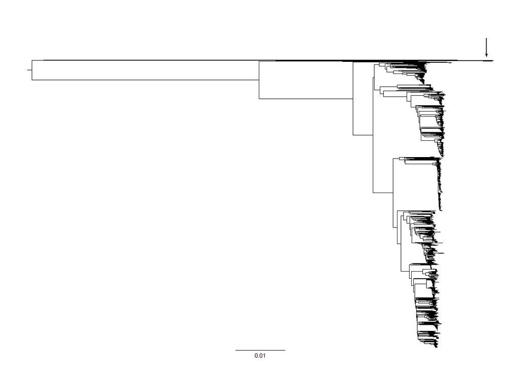 Abb. 4: Phylogenie von 2010 verschiedenen Escherichia coli Stämmen, berechnet aus ihren vollständigen Genomsequenzen. Der Pfeil zeigt auf diejenigen S