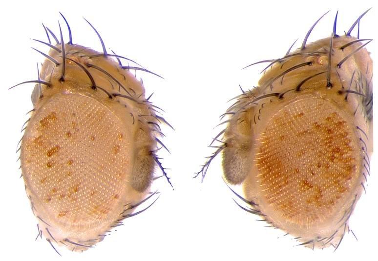 Abb. 2: Genetisch identische Fliegen, deren Väter Nahrung mit hohem Zuckeranteil zu sich nahmen, zeigen eine offenere Chromatinstruktur, erkennbar rec