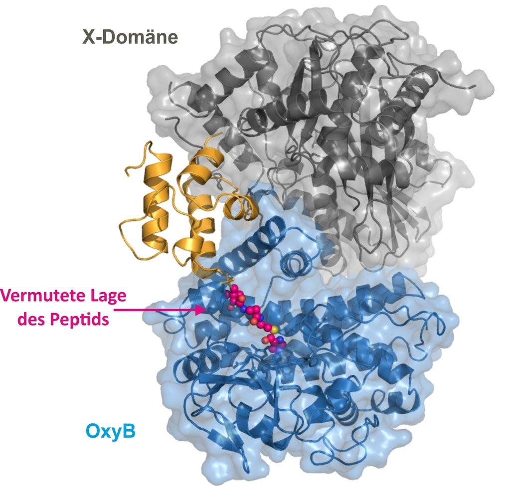 <strong>Abb. 3</strong>: Kristallographische Studien zeigen die vermutete Lage des Peptids (rot) im Kontaktbereich zwischen der X-Domäne und dem