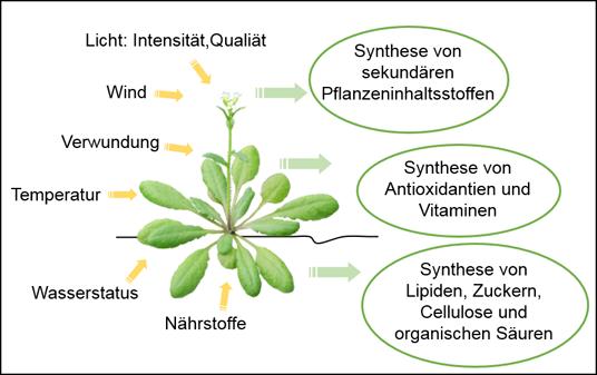 Abb. 1: Zum Gedeihen von Pflanzen unter verschiedenen Umweltbedingungen muss der pflanzliche Stoffwechsel flexibel auf wechselnde Umweltbedingungen re
