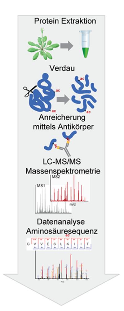 Abb. 2: Schematische Darstellung zum experimentellen Ablauf der Analyse von Lysin-acetylierten Proteinen mit Hilfe der Massenspektrometrie.