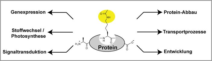 Abb. 4: Vermutete regulatorische Funktionen der Lysin-Acetylierung in Pflanzen.