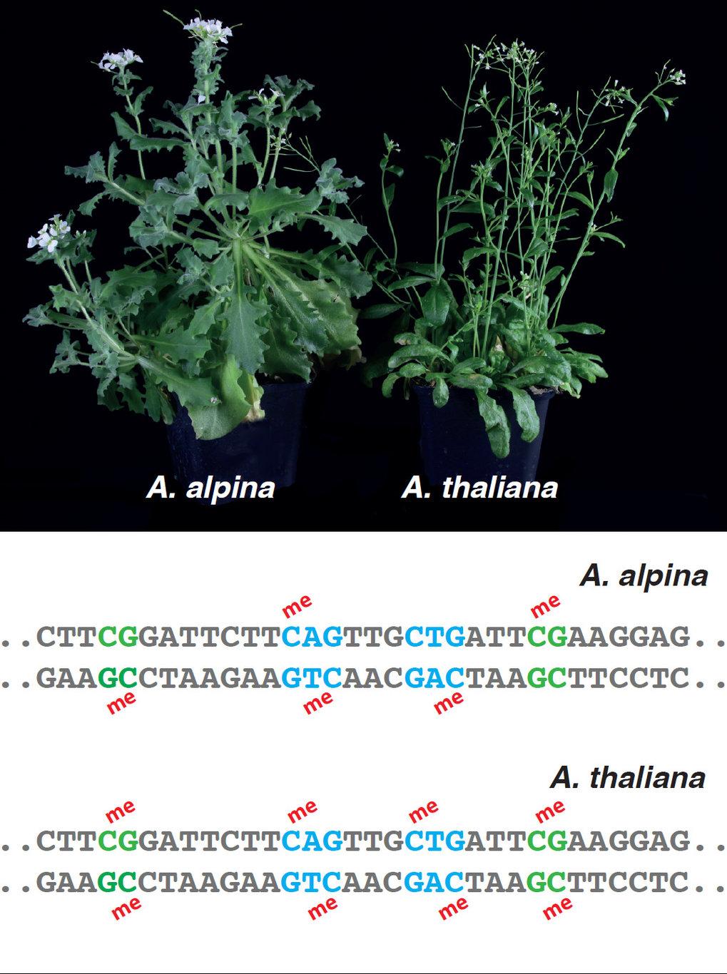 Abb. 2: Die zwei nahverwandten Kreuzblütlerarten Arabis alpina und Arabidopsis thaliana haben Genome, die eine Ähnlichkeit von über 90% zeigen. DNA-Me