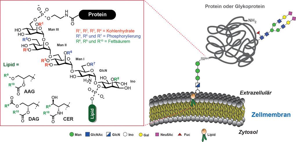 Abb. 1: GPI-Kernstruktur und mögliche Modifizierungen. AAG=Acylalkylglycerol, DAG=Diacylglycerol, CER=Ceramide, Man=Mannose, GlcN=Glucosamin, Ino=myo-