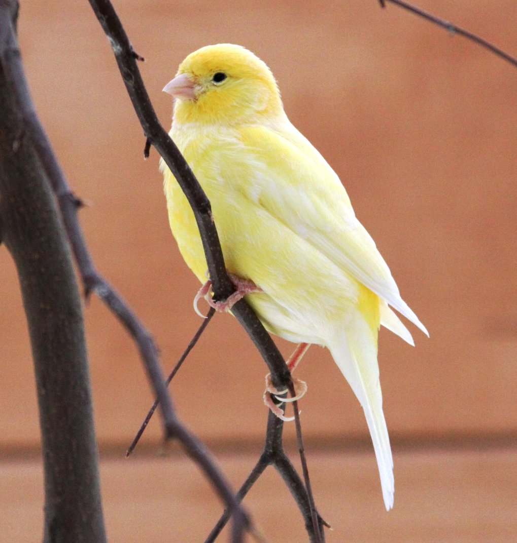 Hormone steuern den Gesang des Kanarienvogels.