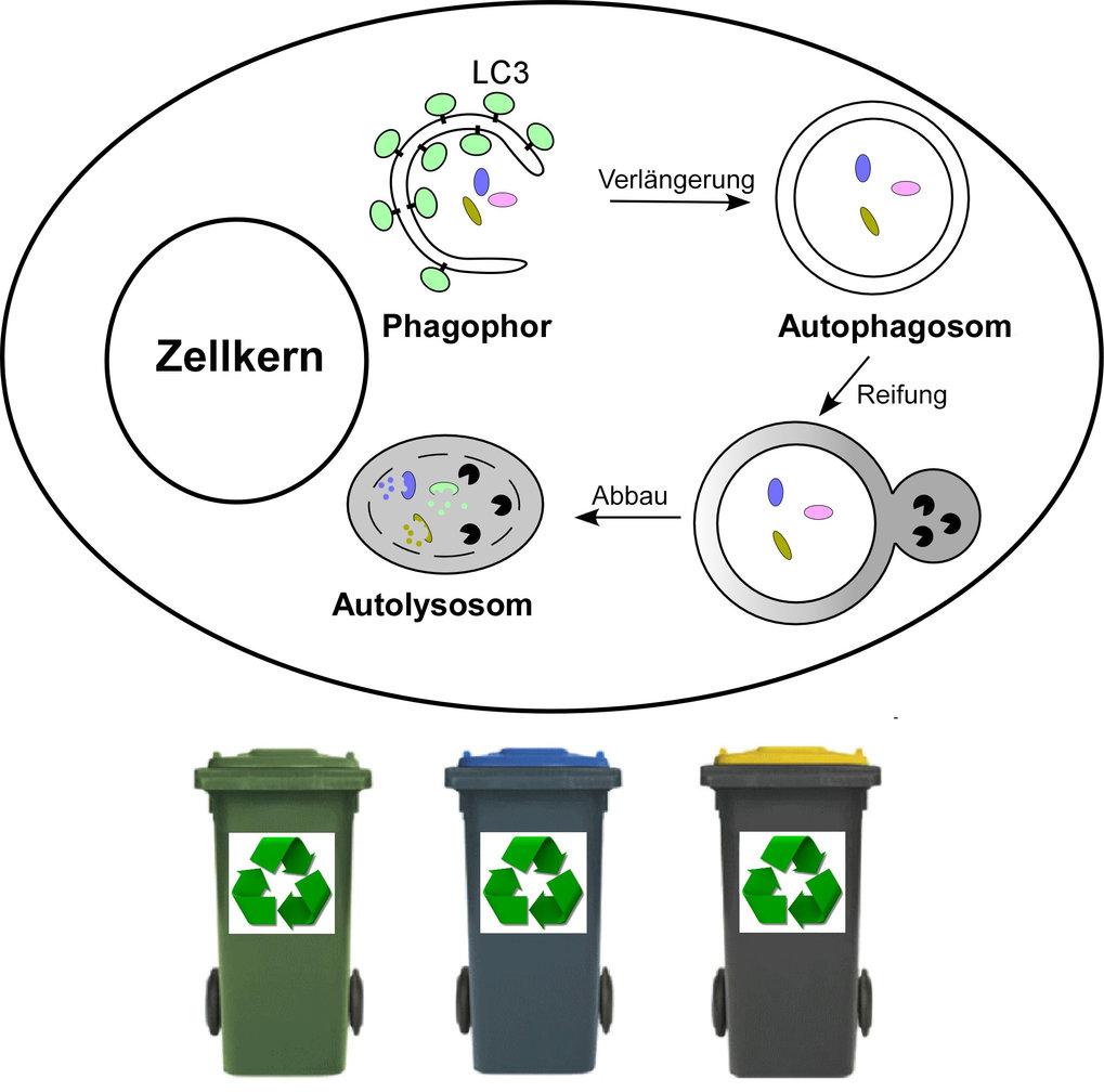 Abb. 1: Die Autophagozytose in eukaryotischen Zellen funktioniert ähnlich wie Recycling-Systeme in unserer Gesellschaft. Zellkomponenten werden von de