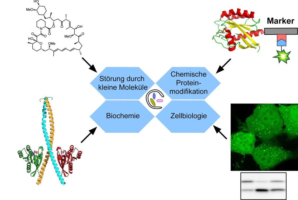 Abb. 3: Zusammen mit herkömmlichen biochemischen und biologischen Methoden hat die Entwicklung von neuartigen chemischen Sonden – die Störung mit klei