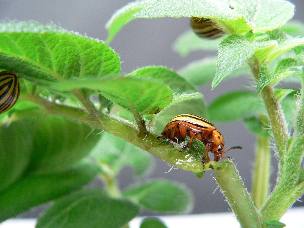 Der Kartoffelkäfer (<em>Leptinotarsa decemlineata</em>): Jede seiner Larven frisst im Durchschnitt 40 bis 50 Quadratzentimeter Blattmaterial. Ein