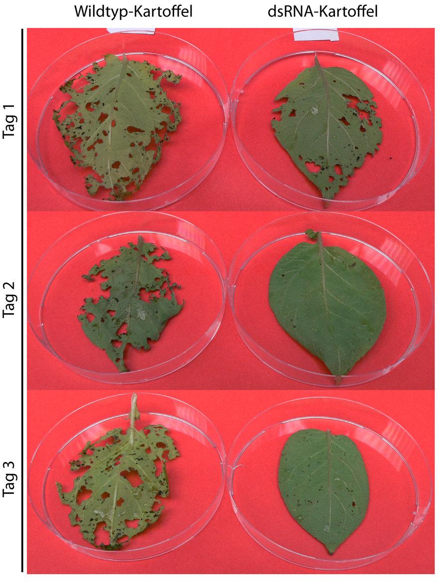 Fütterungsexperiment mit abgetrennten Kartoffelblättern: Dargestellt sind Wildtyp-Blätter im Vergleich mit Blättern einer Pflanze,