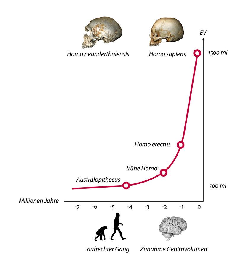 Die Evolution des menschlichen Gehirns | Max-Planck-Gesellschaft