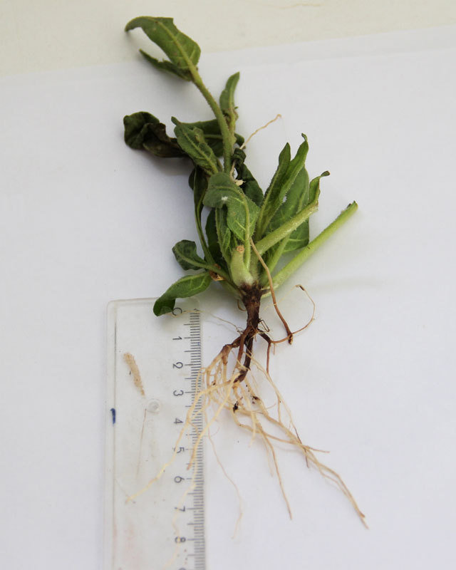 Community of soil bacteria saves plants from root rot | Max-Planck