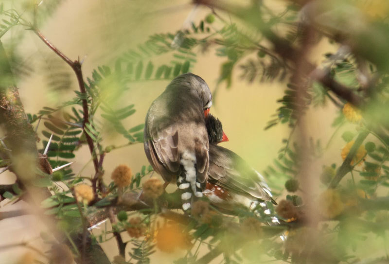 <p>Love birds: a zebra finch pair engaged in mutual grooming.</p>